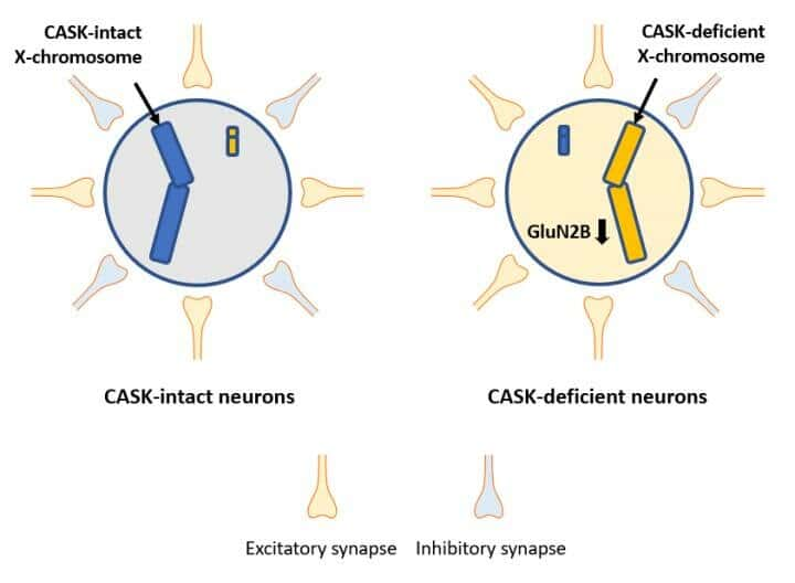 The number of excitatory synapse projecting to CASK-deficient neurons is increased but that of inhibitory synapse is decreased in the CASK heterozygote knockout mouse brains. Credit: Katsuhiko Tabuchi, Shinshu University, Japan