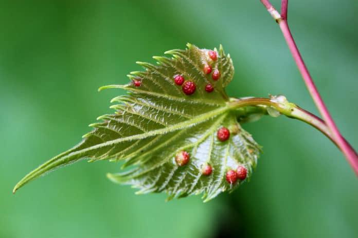 Phylloxera galls on the leaf of a grape vine