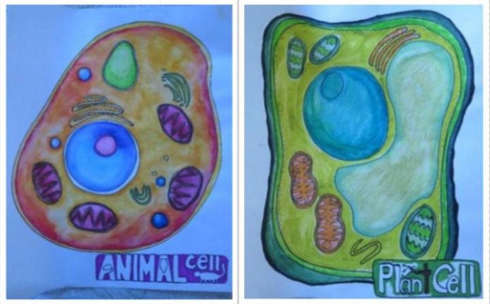 Students in the arts-integrated life science class drew animal and plant cells to understand the structures within. CREDIT Mariale Hardiman/Johns Hopkins University