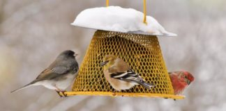 A dark-eyed junco, an American goldfinch, and a house finch feed on sunflower seeds on a snowy day. Bird watchers report that cold weather influences how much they feed birds, more so than time or money. Photo by Cynthia Raught. CREDIT Virginia Tech