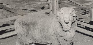 'Sir Freddie,' one of the original semen donors, in 1969. CREDIT Courtesy of the Walker family
