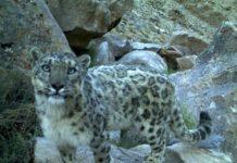 Snow leopard caught in a camera trap