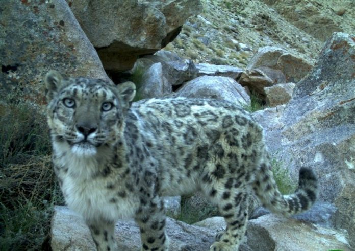 Snow leopard caught in a camera trap