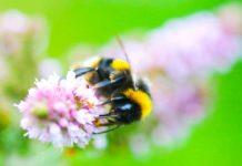 Bumblebee. Image credit: Andres Arce