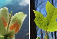 A leaf and flower of tulip-poplar (Liriodendron tulipifera), the tallest documented tree in the eastern US. Fast-growing and productive, this species is important for both forest products and the carbon cycle. Photos: Neil Pederson