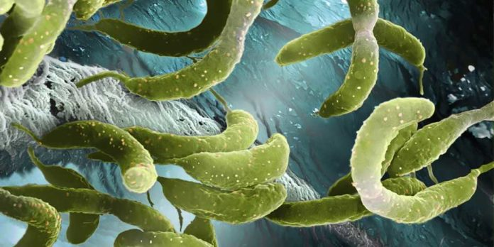 Caulobacter crescentus is a harmless bacterium living in fresh water throughout the world. (Electron microscope image: Science Photo Library / Martin Oeggerli)