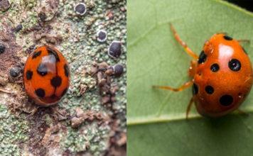The beetle look alike spider Paraplectana rajashree (credit: Sumukha JN)