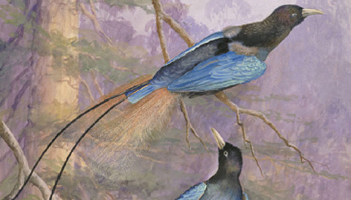 Many species are named after the European royal members who once had exclusive access to the plumage. For example, Paradisaea rudolphi (blue bird-of-paradise) is named after the Crown Prince Rudolf of Austria, and has become a vulnerable species partially because of the plumage hunting (Ellis Rowan (c1847-1922) [Public domain], via Wikimedia Commons).