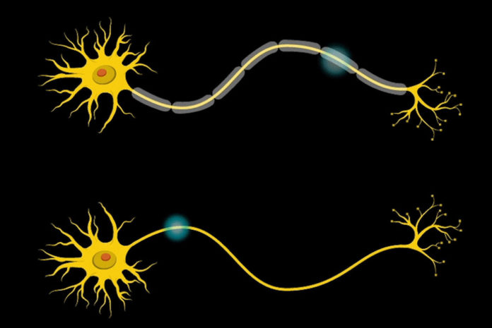 In the neuron, a protective covering called myelin (grey) insulates the axon and increases the speed of electrical communication along the length of the neuron.