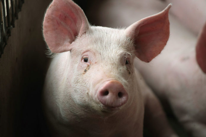 The pigs whose brains were used in the study had been killed at a slaughterhouse for meat.