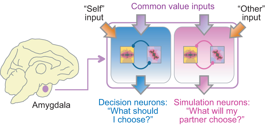 Graphic showing two decision systems in the primate amygdala. Courtesy of Fabian Grabenhorst.