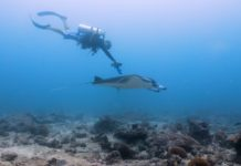Researchers obtain first ever underwater ultrasound scans of wild reef manta rays