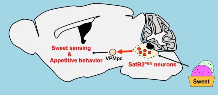 SatB2-expressing neurons localized in the parabrachial nucleus (PBN) of the mouse brainstem encode positive valance and selectively transmit sweet taste signals to the gustatory thalamus (VPMpc). Credit: Ken-ichiro Nakajima / National Institute for Physiological Sciences