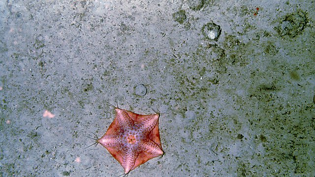 A large starfish (possibly a species of the genus Hymenaster). This animal has only been seen a handful of times, which limits the amount of training material for the AI, making manual analysis more suited to measure its abundance