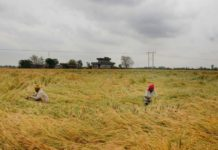 Farmers inspect their crop at a field, on the outskirts of Amritsar on April 17, 2019. (IANS)