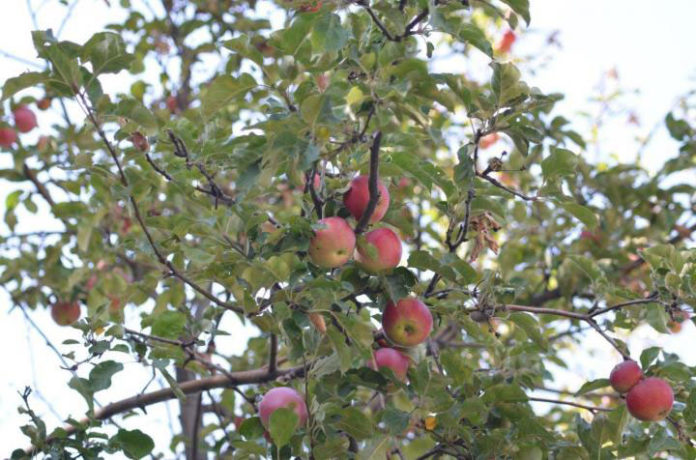 The wild apples in the Tien Shan Mountains represent the main ancestral population for our modern apple. These trees produce large fruits, which are often red when ripe and have a varying array of flavors. These were the ancestors of the trees that people first started to cultivate and spread along the Silk Road. CREDIT Prof. Dr. Martin R. Stuchtey