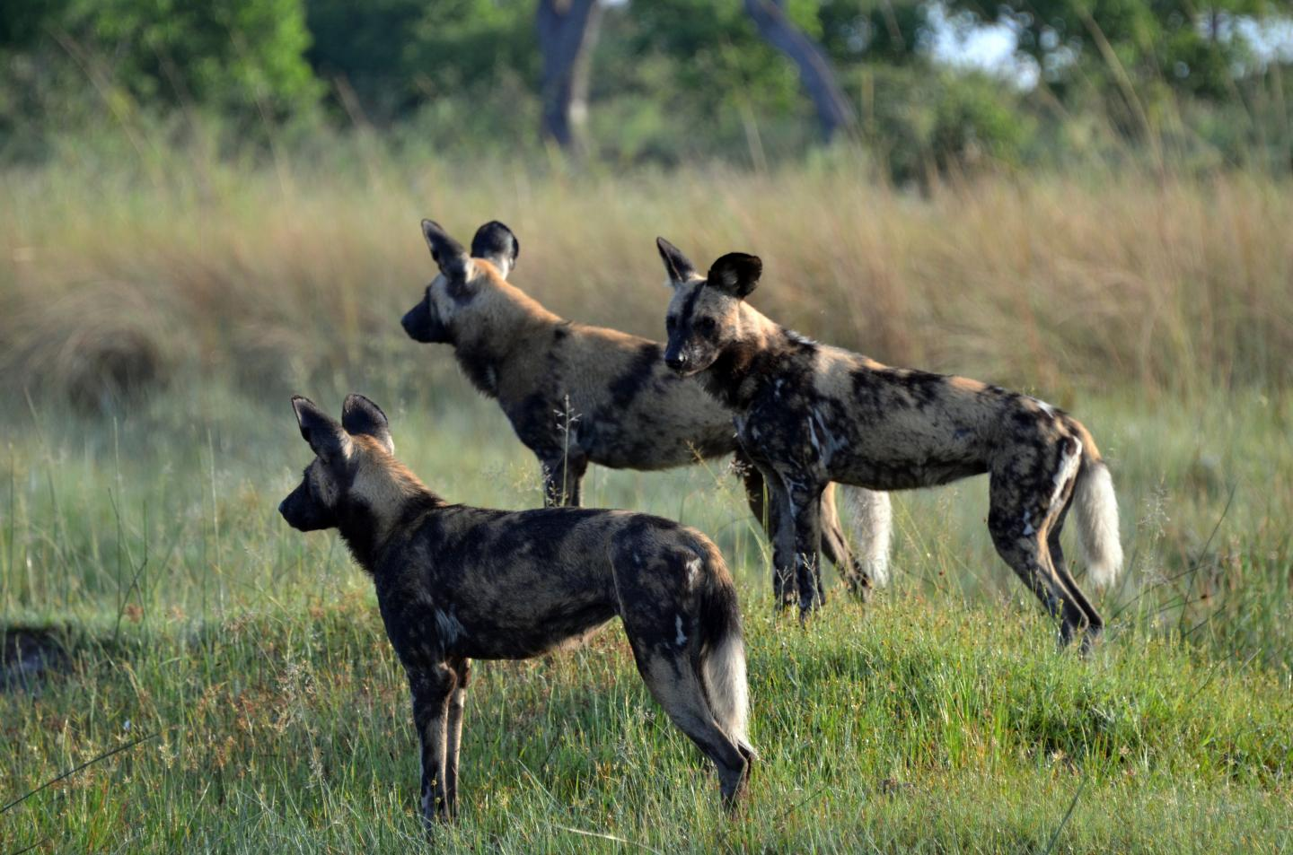 In the case of African wild dogs, the father reliably helps the female rear their young and even steps up his willingness to help their offspring when environmental conditions worsen.  CREDIT Sandra Heldstab