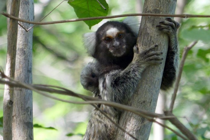 Callitrichids, like these common marmosets, usually give birth to two infants. The father and the other group members help the female rear her young. CREDIT Judith Burkart
