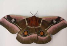 Eye-spot on the hind wing of a Cabbage tree emperor moth (Bunaea alcinoe).