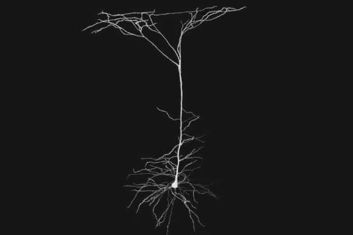 MIT neuroscientists have found that neural extensions called dendrites, which act as antennae to help neurons listen to their neighbors, play a more active role in neural computation than previously thought.