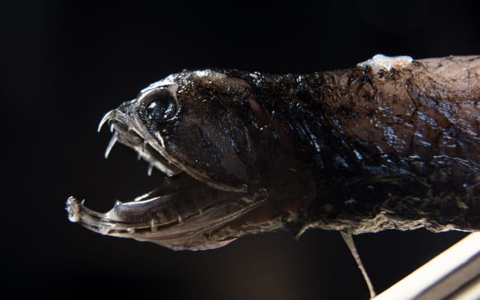 Deep-sea dragonfish with transparent teeth. Photos by David Baillot/UC San Diego Jacobs School of Engineering
