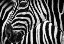 Zebras' stripes are used to control body temperature