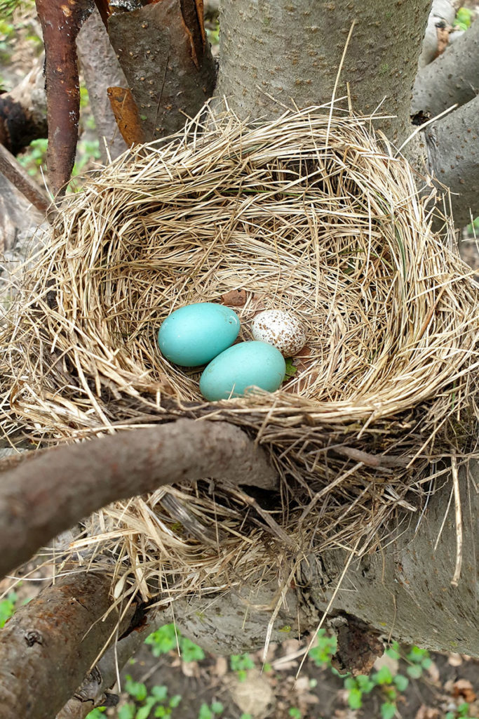 Robins are often able to detect – and reject – the eggs of other species in their nests, like this small, white, speckled cowbird egg. Photo courtesy Mark E. Hauber