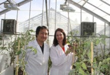 WSU plant pathologists Kiwamu Tanaka and Cynthia Gleason are exploring novel defenses against pest and diseases that harm valuable potato crops.
