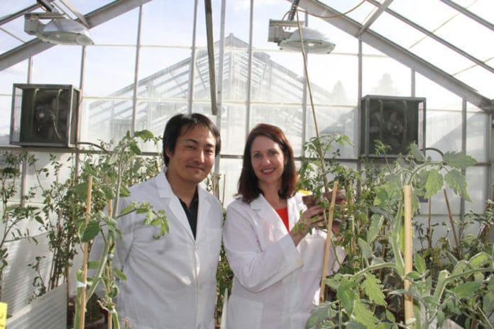 WSU plant pathologists Kiwamu Tanaka and Cynthia Gleason are exploring novel defenses against pest and diseases that harm valuable potato crops.