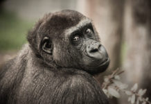 Chimpanzees possess working memories like humans