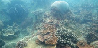NUS marine scientists found that coral species in Singapore's sedimented and turbid waters are unlikely to be impacted by accelerating sea-level rise.