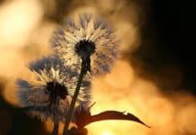 Scientists model the flight of dandelion seeds