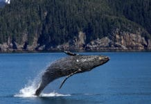 Humpback Whales/ Image Credit: Pixabay