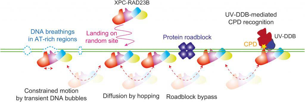 Model for lesion search mechanism of XPC-RAD23B.