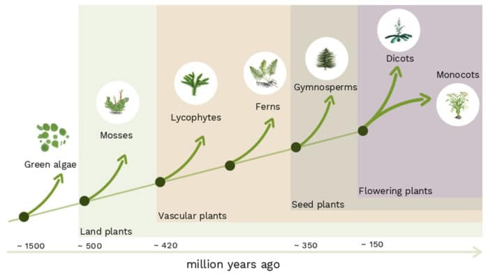 The evolution of land plants (simplified). Around 500 million years ago land plants started to spread from water to land. © IST Austria