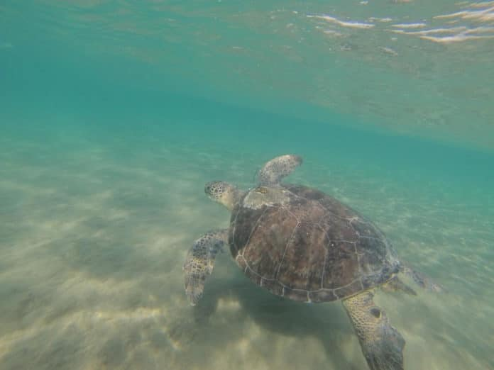 Green turtle swimming off Cyprus CREDIT Emily Duncan