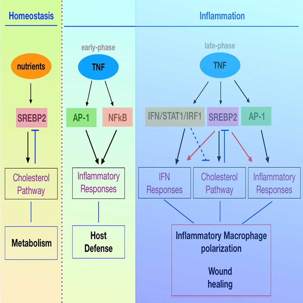 The role of late inflammatory response and SREBP2 in regulating macrophage activity.