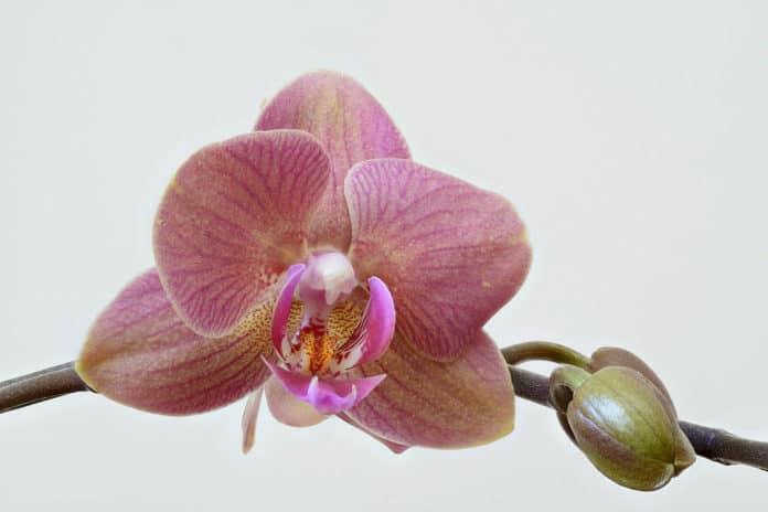 Orchid. Credit: Nicolas Perrault II/Wikipedia