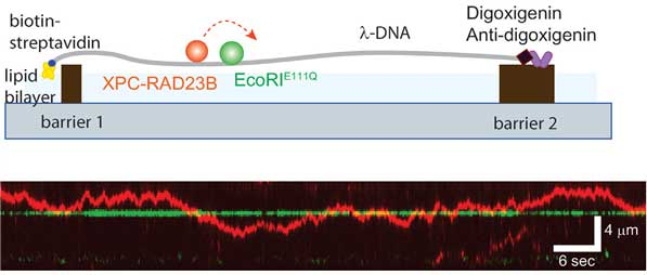 Schematic of DNA curtain experiment for the collision between XPC-RAD23B and EcoRI. EcoRIE111Q structure is adopted from protein data bank (PDB ID: 1CL8). Kymograph for the collision between XPC-RAD23B (red) and EcoRIE111Q (green). The green arrow represents EcoRI cognate site on λ-DNA.