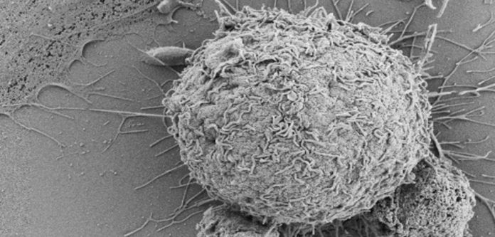 Researchers find new cells that repair tissue