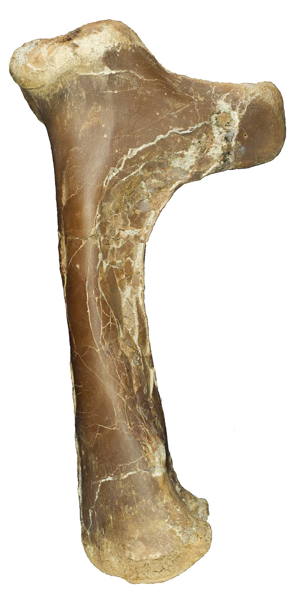 Right humerus of Cryodrakon boreas (upper arm bone seen from the side and slightly behind, about 25 cm long).