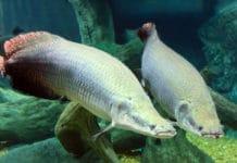 Fish species in amazon are so tough to thwart piranha attack