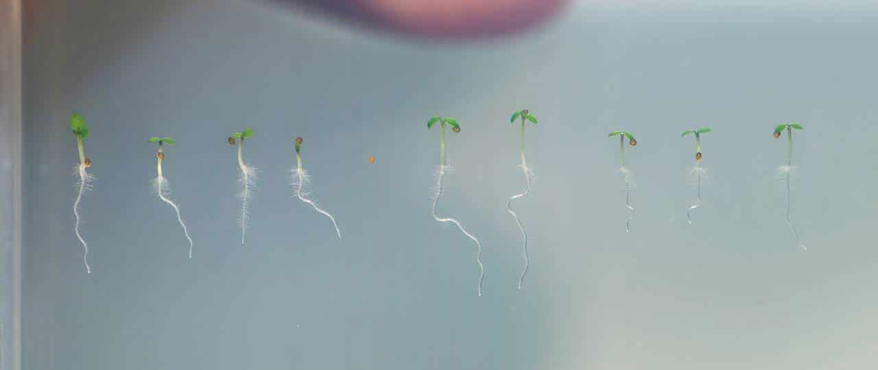 Seedlings of thale cress (Arabidopsis). The KAI2 protein regulates essential functions of root and root hair growth. Image: A. Battenberg / TUM