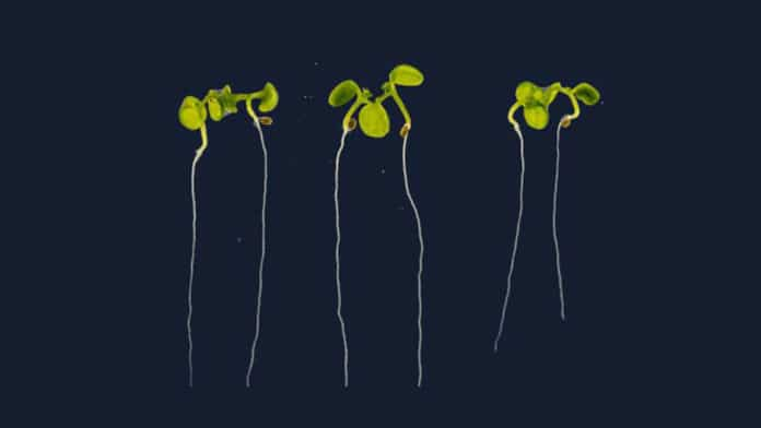 Calcium plays a key role in primary root development