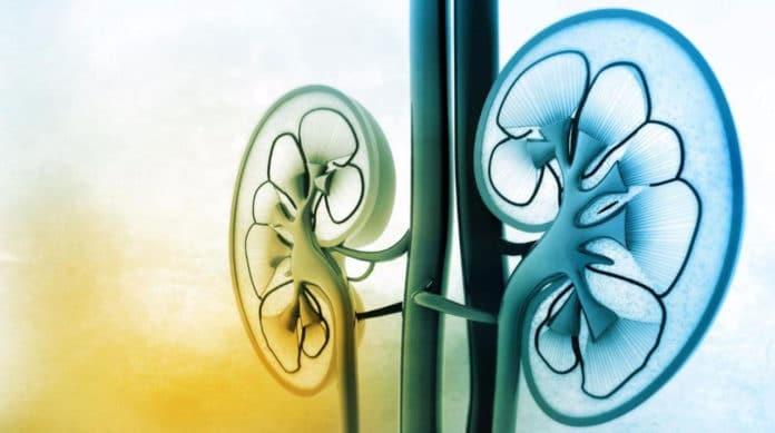Computer kidney sheds light on proper hydration