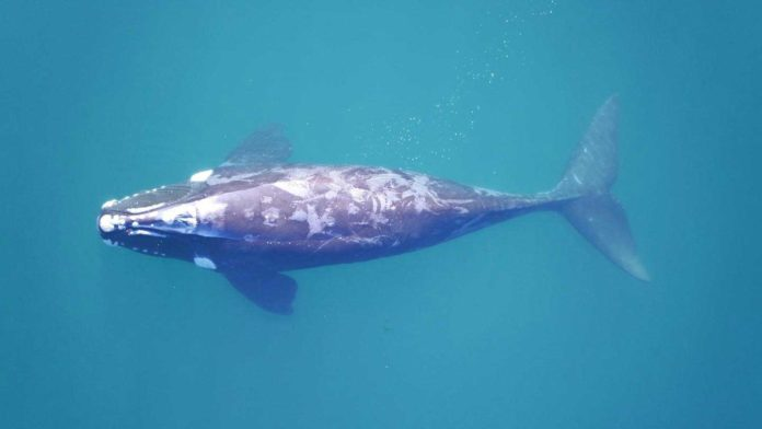 A southern right whale surfaces in the clear waters off the coast of Península Valdés. CREDIT Photo by Fredrik Christiansen, Aarhus Institute of Advanced Studies