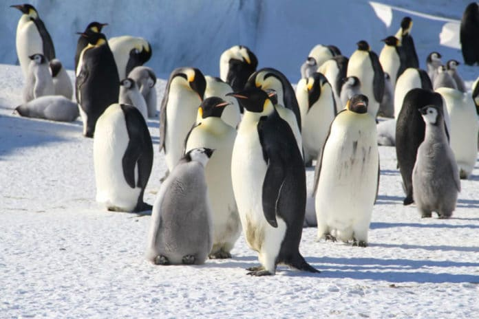 Emperor penguins are some of the most striking and charismatic animals on Earth, but a new study has found that climate change may render them extinct by the end of this century. Photo credit: Dr Michelle LaRue