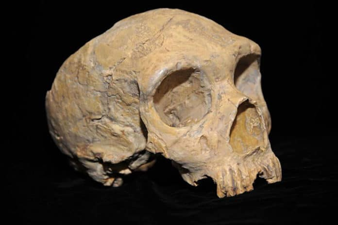 A Neanderthal skull discovered in Forbes' Quarry, Gibraltar. (Photo by AquilaGib, via Wikimedia Commons)
