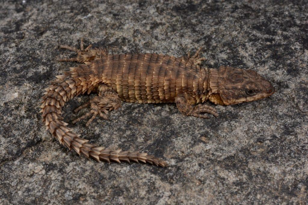 Cordylus phonolithos is a new species of girdled lizard from southwestern Angola. Credit: © 2019 Ishan Agarwal