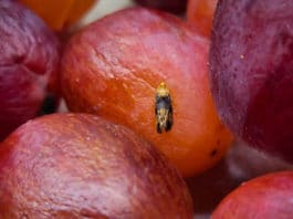 Female grape berry moths – the biggest insect threat to wine grapes in the eastern U.S – lay their eggs on grapes and, once hatched, the larvae damage the fruit.